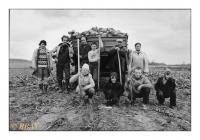 Arrachage en famille des betteraves fourragères, Ath, Belgique, 1985 - argentique